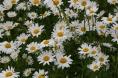 ox eye daisies