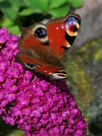 butterfly on buddliah s