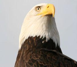 eagle s