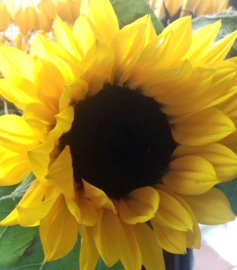 sunflower s