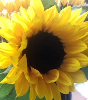 sunflower s
