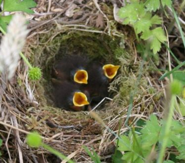 baby robins (2) s
