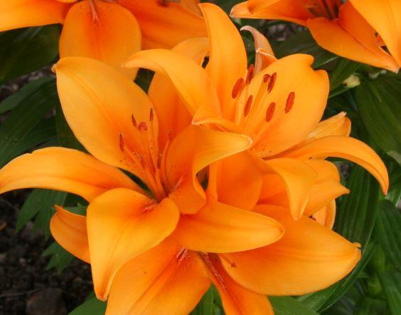 orange lily s