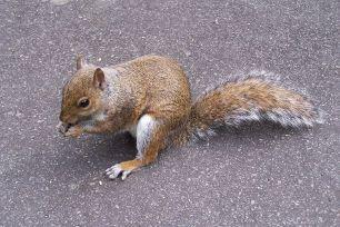 grey squirrel s