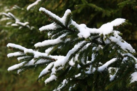 snow on firs